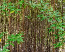 Free Young Mangrove Forest Royalty Free Stock Photography - 28348547