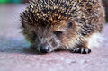 Free Hedgehog Close Up Royalty Free Stock Photography - 28351447