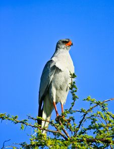 Free Pale Chanting Goshawk Stock Photo - 28353360