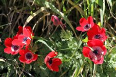 Free Red Anemones Stock Images - 28359464