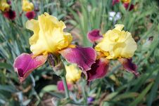 Free Two Irises Royalty Free Stock Photography - 28359777