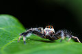 Free Telamonia Dimidiata Jumping Spider Stock Images - 28361294