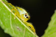 Free Epocilla Jumping Spider Stock Photography - 28361322