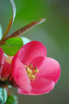 Free Quince Flower &x28;Chaenomeles&x29; Royalty Free Stock Image - 28368156