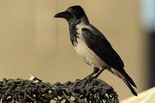 Free Hooded Crow. Stock Image - 28369641