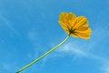 Free Yellow Mexican Daisy Royalty Free Stock Photo - 28376285