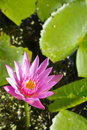 Free Pink Lotus Royalty Free Stock Photography - 28376307