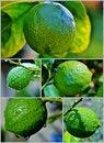 Free Lemon On Tree Stock Photo - 28377150