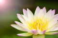 Free Lotus Flower Background Royalty Free Stock Images - 28377359