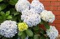 Free Hydrangea Royalty Free Stock Photos - 28379068