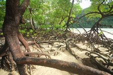 Free Mangrove Trees Stock Photo - 28373240