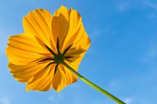 Free Yellow Mexican Daisy Stock Image - 28376291
