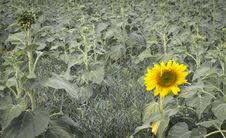 Free Young Sunflower Stock Image - 28376391