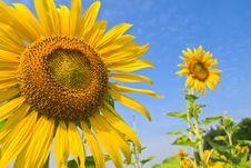 Free Sunflowers Royalty Free Stock Image - 28376426