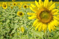 Free Sunflowers Stock Image - 28376441