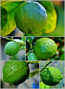 Free Lemon On Tree Stock Photo - 28377150
