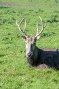 Free Pere David&x27;s Deer Stock Images - 28382214