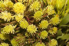Free Broadleaf Featherbush Stock Image - 28381691