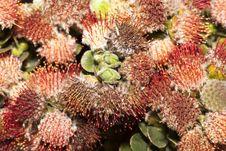 Free Oval-Leaf Pincushion Stock Photos - 28381823