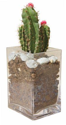 Cactus In Vase Stock Images