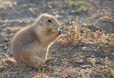 Free Prairie Dog Stock Photos - 28384523
