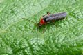 Free Soldier Beetle Stock Photo - 28390400