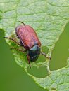 Free Chafer Royalty Free Stock Image - 28393186