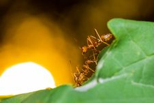 Red Ants In Nest Stock Image