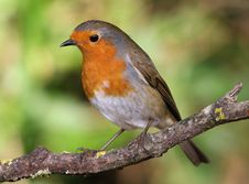 Free Robin Stock Images - 28391434