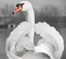Free Mute Swan Portrait Stock Image - 28392831