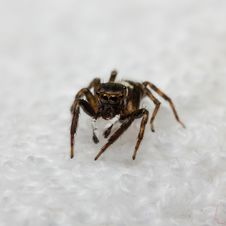 Free Hasarius Adansoni Jumping Spider Royalty Free Stock Image - 28395126