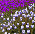 Free Abstract Violet Tulips In Park Royalty Free Stock Photography - 2844167