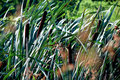 Free Sunny Green Reeds Swayed By Th Royalty Free Stock Photography - 2847207