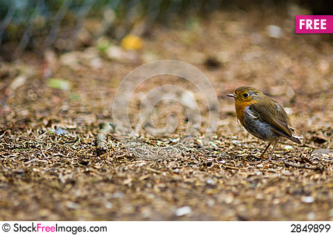Free A Robin Redbreast Royalty Free Stock Images - 2849899