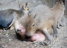 Free Capybara 2 Royalty Free Stock Photos - 2840858