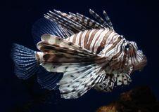 Free Scorpionfish Royalty Free Stock Image - 2841776