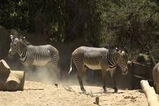 Free Zebra Royalty Free Stock Photo - 2842585