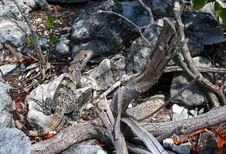 Free Camouflaged Lizard Royalty Free Stock Image - 2842816