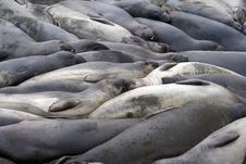 Group Of Elephant Seals Royalty Free Stock Photo