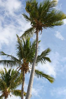Free Palm Trees Royalty Free Stock Images - 2842839
