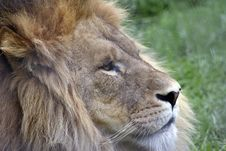 Free Side Profile Of A Lion Royalty Free Stock Photos - 2844428