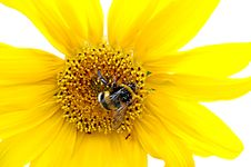 Free Bumblebee On A Sunflowe Stock Image - 2844931
