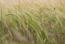 Free Cereal Crop Is Growing Royalty Free Stock Images - 2845939