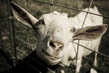 Free Funny Face Goat Stock Photos - 2846303