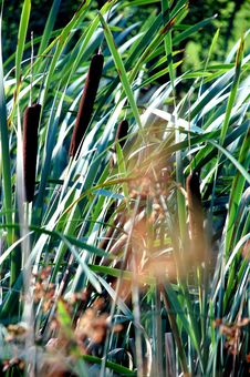 Free Sunny Green Reeds Swayed By Wind Royalty Free Stock Images - 2847209