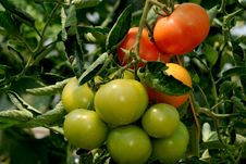 Free Tomatoes Maturing Royalty Free Stock Photo - 2847345
