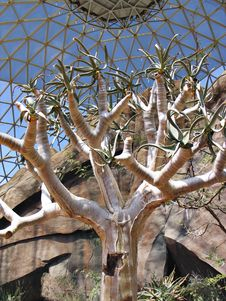 Free Desert Bloomer Royalty Free Stock Photos - 2849298