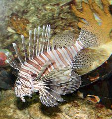 Free Lionfish Closeup Stock Photos - 2849483
