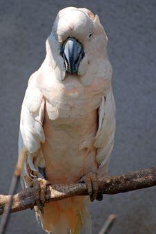 Free White Parrot Royalty Free Stock Photo - 2849715