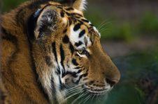 Free Tiger Royalty Free Stock Image - 2849806